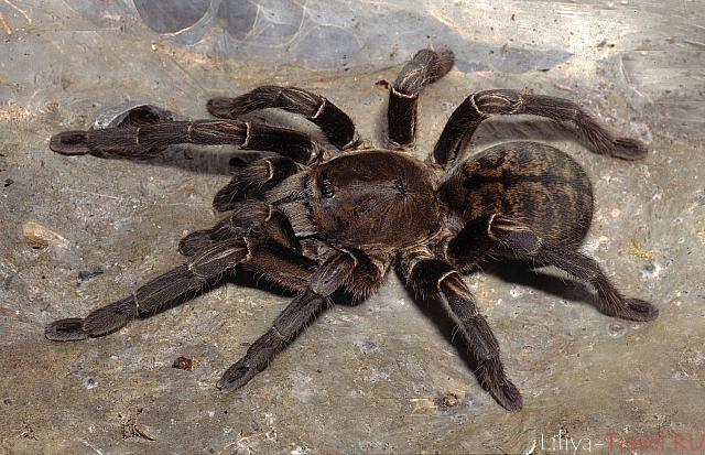 пауки паразиты человека